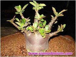Siam Adenium Blog: 2007