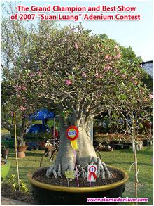 Siam Adenium Blog: Suan Luang, The Biggest Adenium Contest in