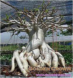 Siam Adenium Blog: How to identify the TRUE Thai Socotranum: Golden