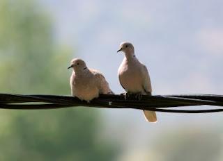 Collard Dove