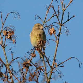 Greenfinch at Dunstable Wetland Reserve