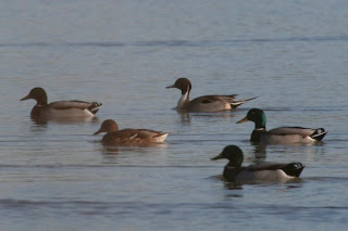 Pintail at Dunstable Wetland Reserve