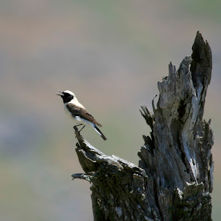 Black-eared Wheatear (dark-throated Eastern race)