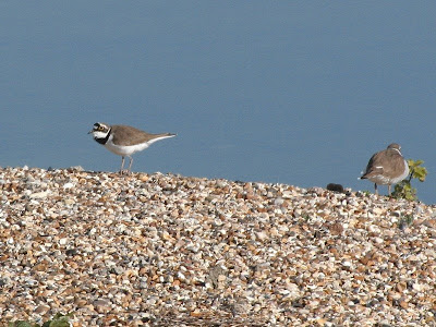 Little-ringed Plover