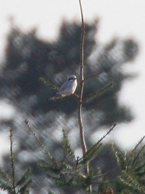 Great-grey Shrike
