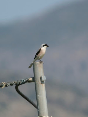 Lesser-grey Shrike
