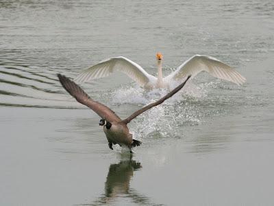 Whooper Swan & Canada Goose