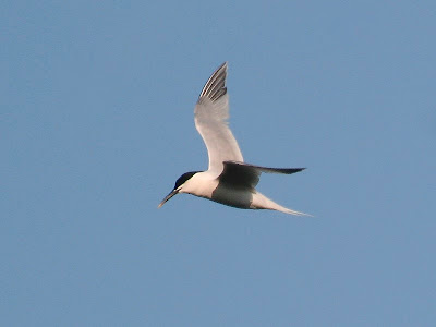 Sandwich Tern