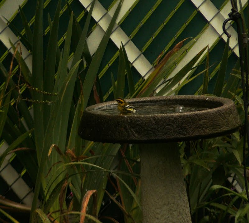 Portland Oregon Backyard Birds: A Few Photos