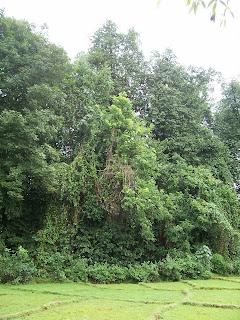 Niramkarachi Rai - the sacred grove at Nanode, Sattari - Pic by Mohan Pai