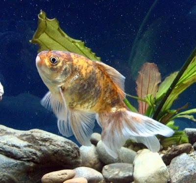 Acquariofilia foto i primi pesci rossi for Pesci acqua fredda piccoli