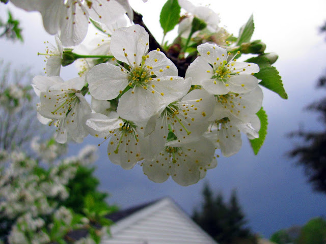 Last-of-The-White-Cherry-Blossoms-With-Blue-Sky