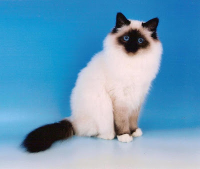 kucing birman