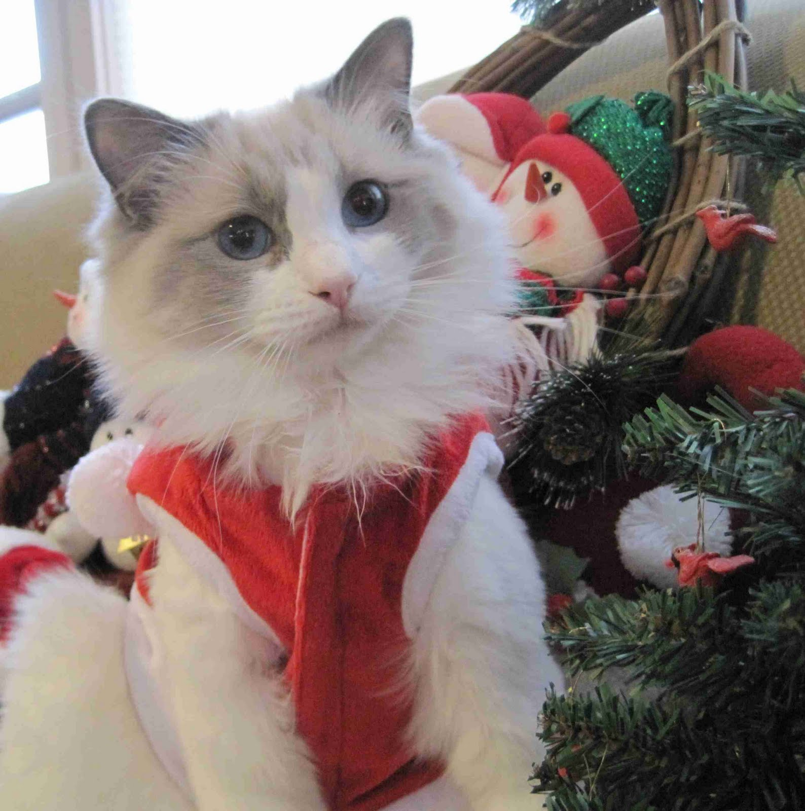 imgchili cat CLOON'S COUSIN CLOONSKI OGORKI CELEBRATES UKRAINIAN CHRISTMAS WITH MISS  TROVSKY OF THE PINK NOSE SOCIETY