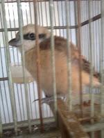 atau toet merupakan burung sawah yang dapat menirukan k