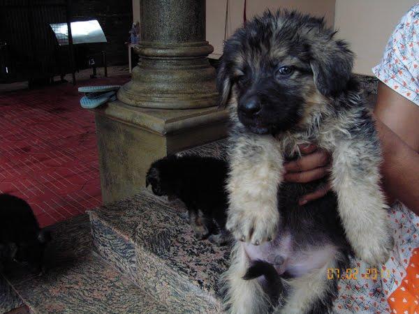 Buy German Shepherd Puppies German Shepherd Puppies For Sale In Kerala