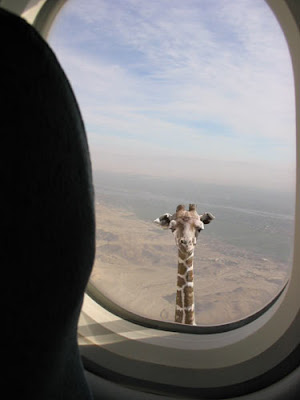 photo of a giraffe looking into an airplane window
