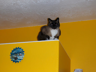 photo of Koko sitting on a high shelf