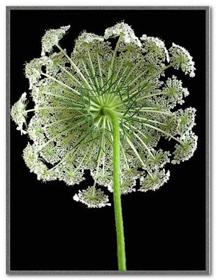 flowers like lace