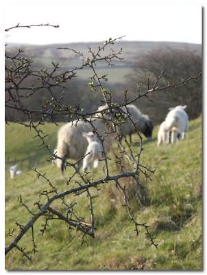 lambs in Tarset Northumberland