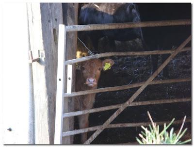 calf in Tarset Northumberland