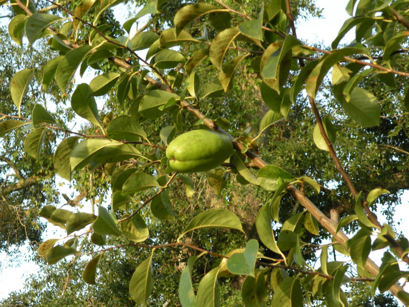 This Is My Dad S Quince Tree With Some Im Fruit On It The Around 4 5 Inches Long They Turn Yellow When Ripe