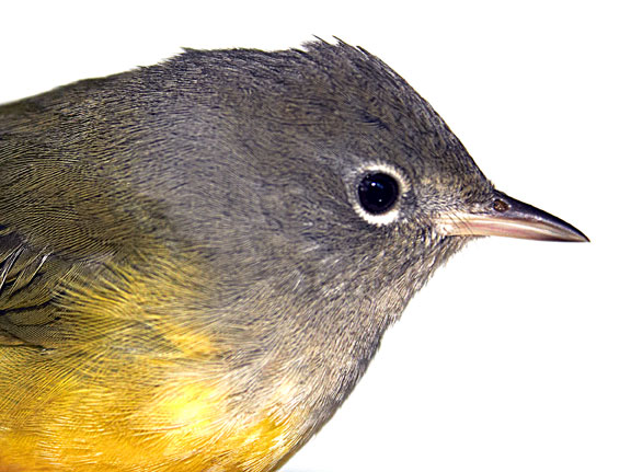 Dan Tallman's Bird Blog: Mourning Warbler (VCFW)