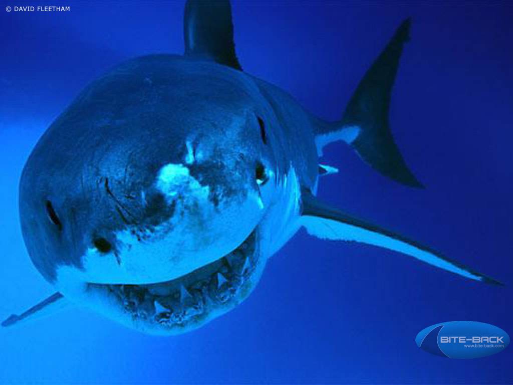 HD Animal Wallpapers: HD Sharks wallpapers