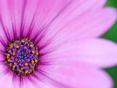 flor-de-petalos-rosas-y-filamentos-y-estambres-amarillos-y-azules