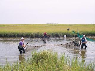 The ultimate fishing blog bait profile prawns for Drag net fishing