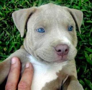 Juicy Dog Couture Beautiful Blue Eyed Pitbull Puppy