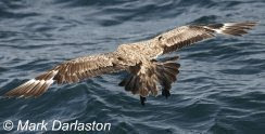 Great Skua, Lyme Bay, 21/09/2009