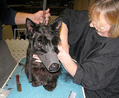Scottish Terrier gets groomed