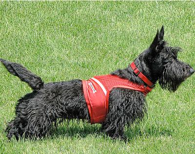 Scottish Terrier watches soccer