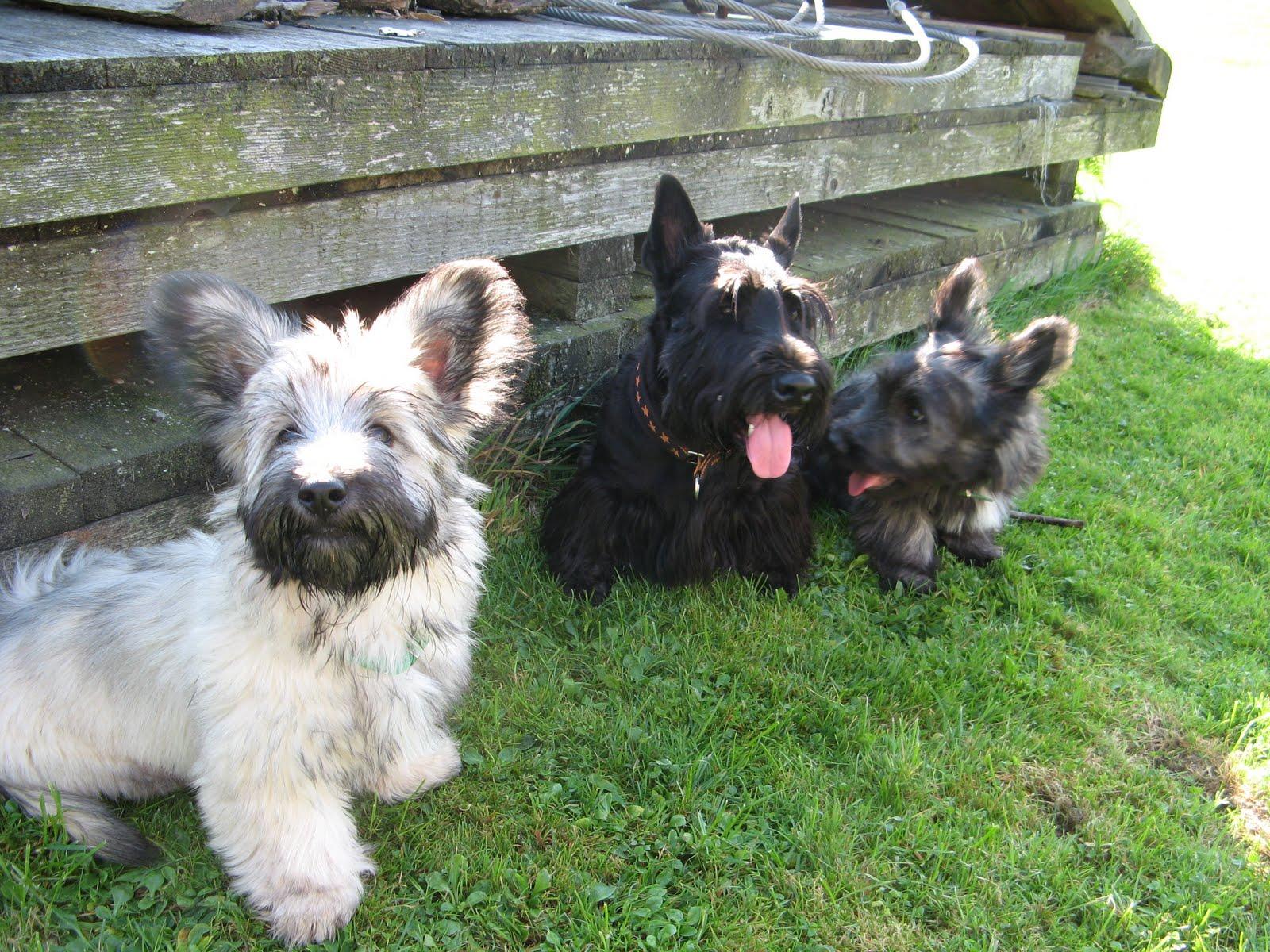 Scottish Terrier breeders
