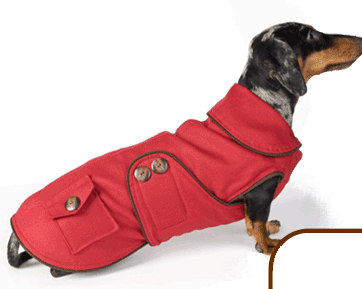 Red Dachshund winter coat