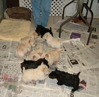 Scottish Terrier puppies black and wheaten
