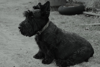 Handsome older Scottish Terrier with plaid collar