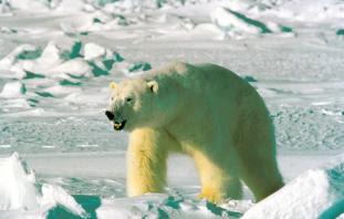 [UNITED STATES] Oil companies gain polar-bear harm protection in Alaska