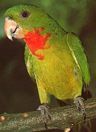 Red Throat Conure 24