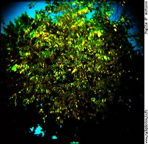 Fotografia di albero in autunno. Macchina fotografica Holga 120 CFN