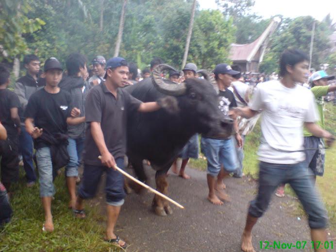 kerbau or banteng