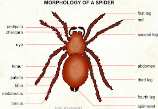 Spider Chelicerae Diagram John S Dictionary Of Difficult Words Vancouver Richmond