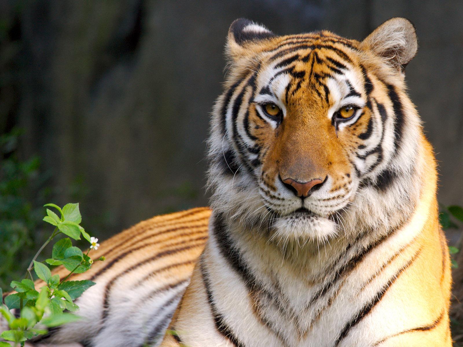 tiger - photo #21