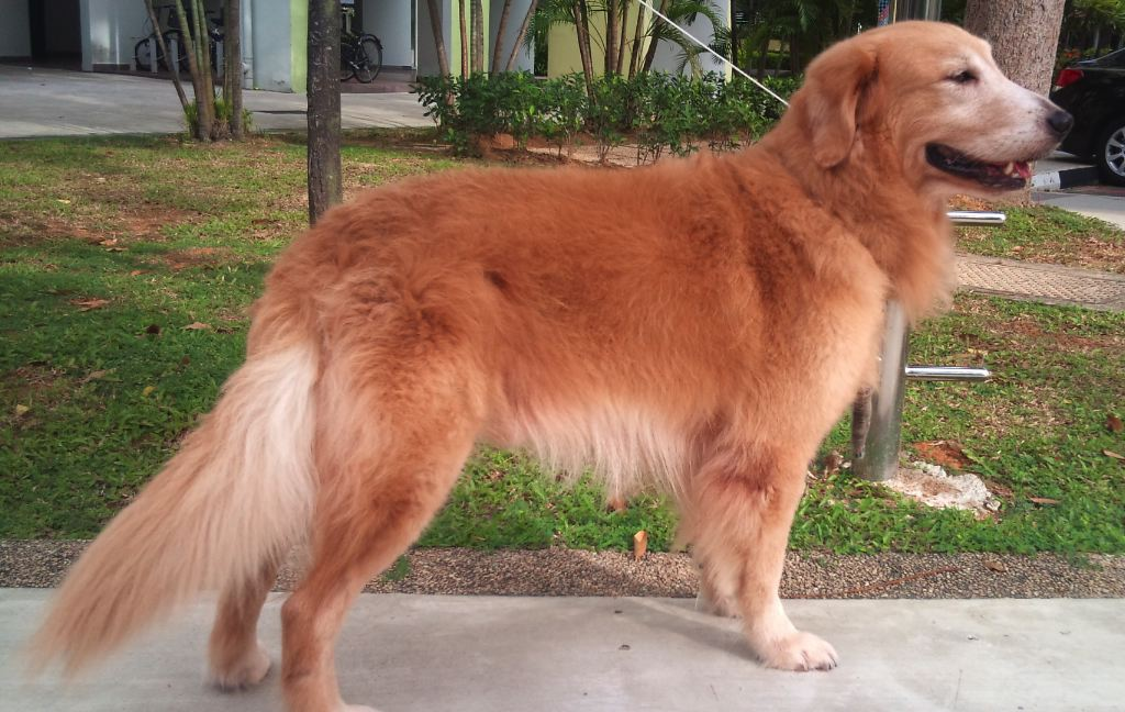 The Rehomers Rehomed Adopt Max 5yo Male Golden Retriever Good W