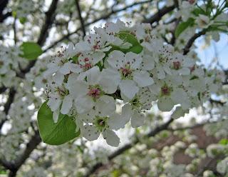What tree has white flowers in the spring sevenstonesinc enjoy flowering pear trees from afar mightylinksfo