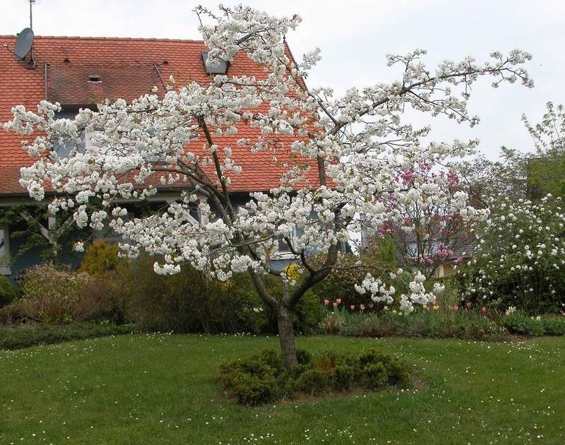christy 39 s garden prunus serrulata shirofugen flowering. Black Bedroom Furniture Sets. Home Design Ideas