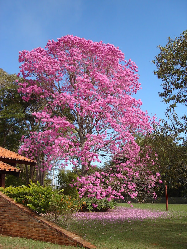 LEAVES OF GRASS: PINK TRUMPET ( - 253.3KB
