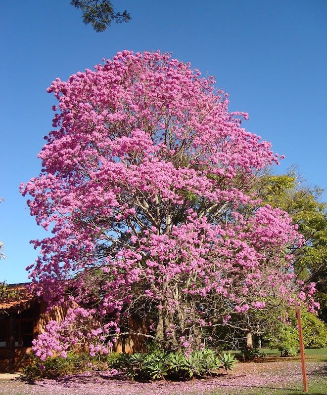 LEAVES OF GRASS: PINK TRUMPET ( - 278.1KB