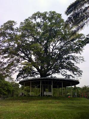 ipoh free and pokok ipoh